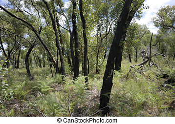 Forest one year after bush fire - Forest in Victoria,...