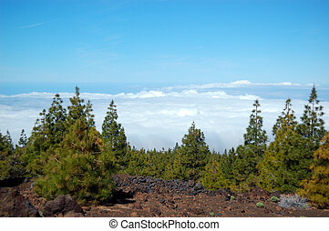Forest over clouds on Volcano Teide. Tenerife island, Spain