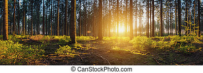 Forest panorama with sunsetlight - Sun shines in to the deep...