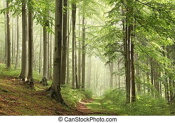 Forest path in the fog - Forest path among the beech trees...