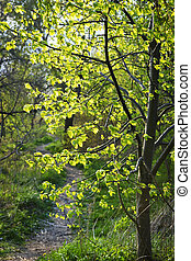 Forest path with backlit linden tree