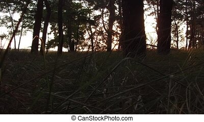 Forest pine moving sunlight glare sun. Autumn sunrise nature...