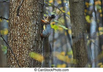 forest., podzim, strom, veverka, kufr