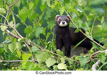 Forest Polecat - Closeup of a Forest Polecat also known as...