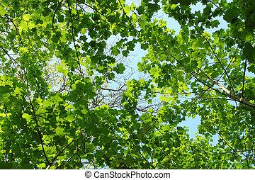 forest.., printemps, feuilles, arbre, vert, frais, baldaquin