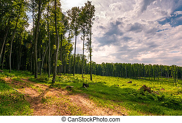 forest road among tall trees on a large meadow. beautiful...