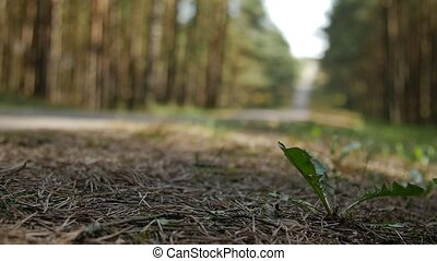 Forest road with dandelions, blurry background. - Forest...