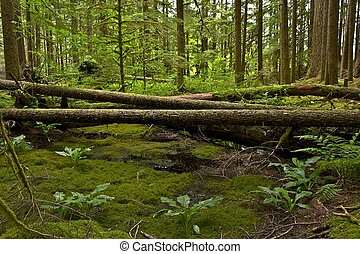 Forest Scenery - Washington State Olympic Peninsula Forest...
