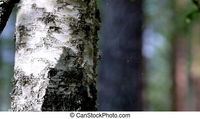 spider - Forest spider in wait on nature