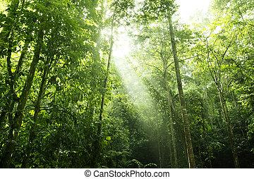 Forest sunlight - Sunbeam shine thru the tropical green...