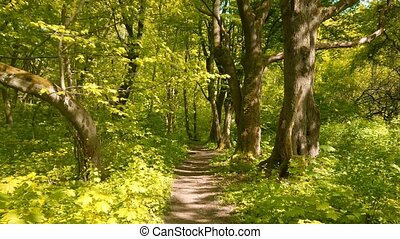 Forest trail among old trees at sunny spring day - Walking ...