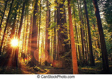 Forest Trail Sunset. Scenic Sunset Redwood Forest Trail....