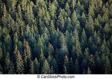 Forest tree tops - Coniferous forest tree tops