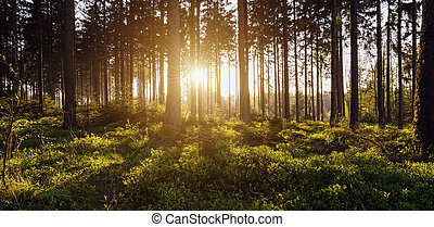 forest trees backlight by golden sunlight before sunset with...