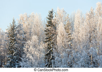 Forest trees covered in snow