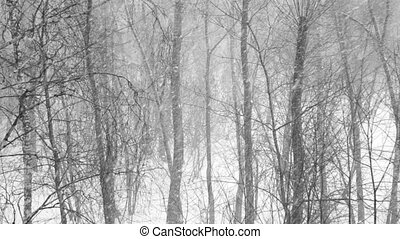 Heavy snowfall in the wood. Large flakes of snow falling on the background of trees