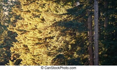 Forest Trees In Breeze On Sunny Evening - Trees in breeze...