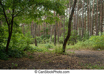 Forest trees in the summer season. Forest glade surrounded by trees.