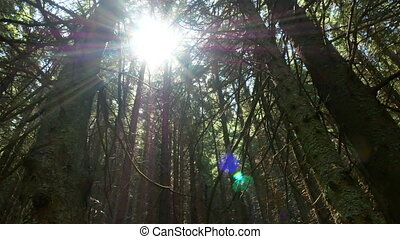 Forest trees rays light - Magic color sun's rays light with...