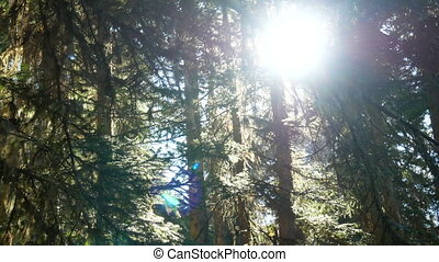 Forest trees sun branch - Mountain forest with the trees...