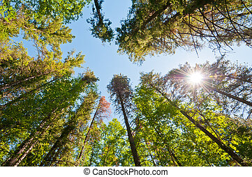 Forest trees with sun burst - Low shot of tall forest trees ...