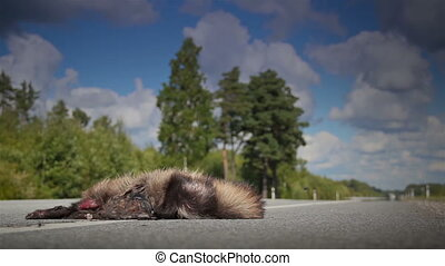 Forest truck passed by a dead animal Raccoon dog body on the street and its guts are spilling