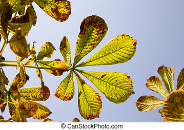 forest under the sunlight in the autumn, details of the old chestnut with drying out foliage