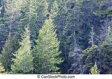 forest view of coniferous trees