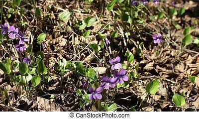 Forest violets spring primrose