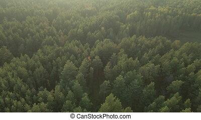 forest., vue., aérien, pin