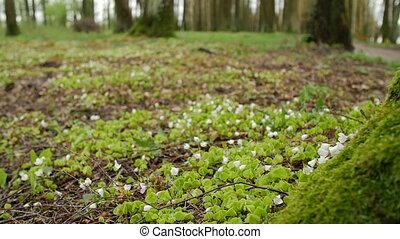 Forest, white flower. Spring scenery with variable light. Saturated green on picking leaves.