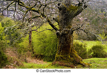 forest - wild landscape with an old tree in the north of...