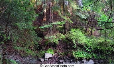 Young pine trees on a Steep Hillside, over Mountain Stream Bed in Carpathian Mountains, FullHD stock footage with Sound.
