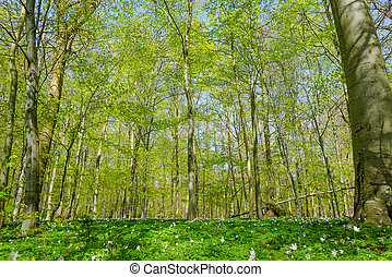 Forest with beech trees