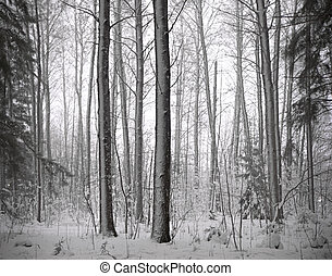 Forest with conifers in winter