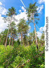 Forest with high pine trees in a beautiful summer sunny day against the blue sky and clouds