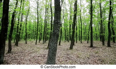 Forest with hornbeam and oak trees