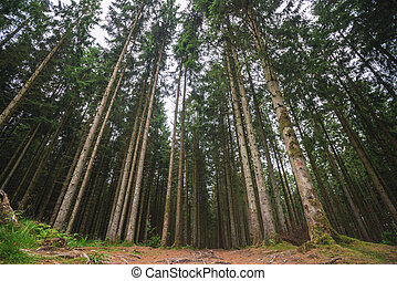 Forest with tall pine trees
