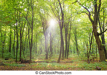 Forest with trees, footpath and sun