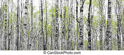 Forest with trunks of birch trees