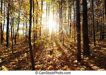 foresta autunno, con, sole