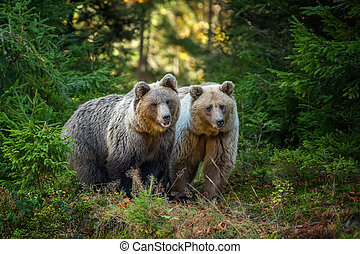 foresta autunno, orso marrone