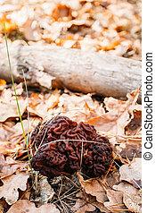 foresta, commestibile, fungo,  gyromitra, emisfero,  conditionally, crescente, fondare, settentrionale, funghi