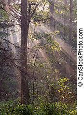 foresta nebbiosa, a, mattina