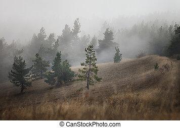 foresta pino, in, il, nebbia