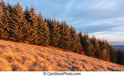 foresta pino, in, transylvania