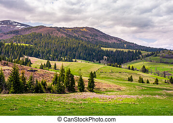 forested hills of Borzhava mountain ridge. beautiful nature...