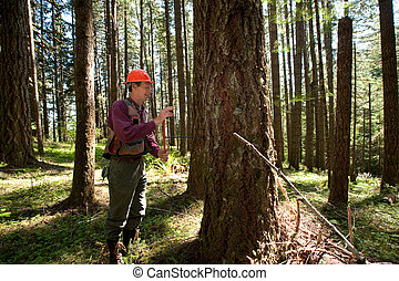 Forester in a Pacific Northwest forest - Forester using an...