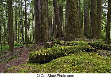 Forests of Pacific Northwest. Rainforest Landscape. ...