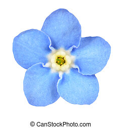 Forget-me-not Blue Flower Isolated on White - Forget-me-not...